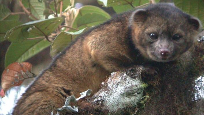 Olinguitoen (bassaricyon neblina9 er det første nyoppdaga kjøttetende pattedyret på den vestlige halvkule på 35 år. Den tilhører halvbjørnfamilien, og ble funnet i Ecuador. (Foto: mark Gurney)