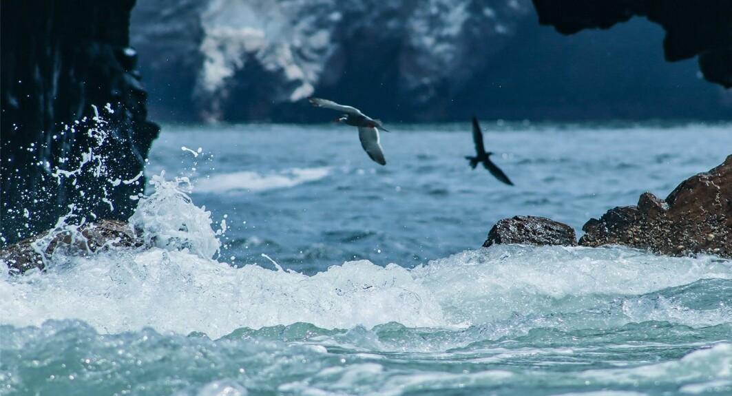 SJøfugler flyr i vinden over Stillehavet, ved Paracas i Peru.