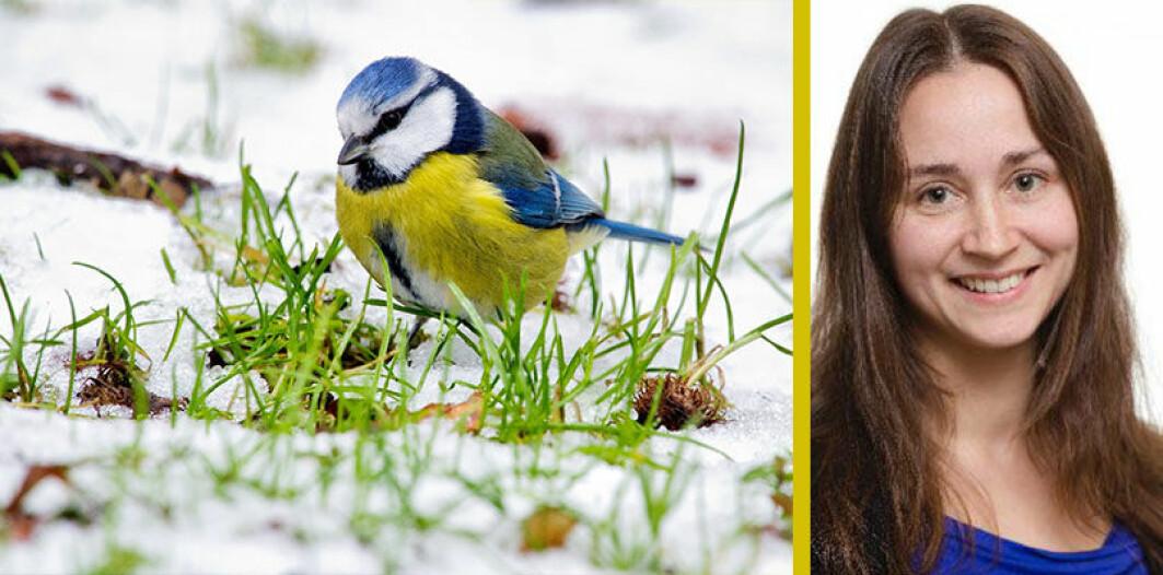 Når vinteren kommer drar noen fugler sydover, mens andre velger å bli i Norge. Hvorfor det? spør Irja.