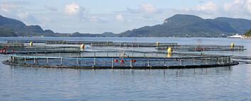 I fjordene på Sør-Vestlandet kan vanntemperaturen om sommeren være en utfordring for laksen. (Foto: Anne Diltefsen)