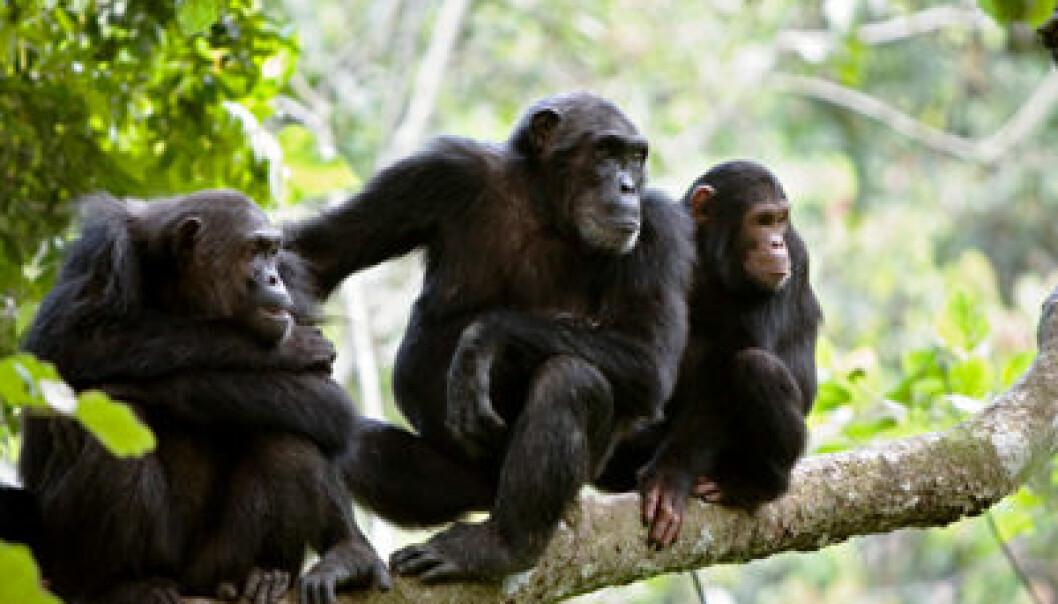 Sjimpanser. iStockphoto