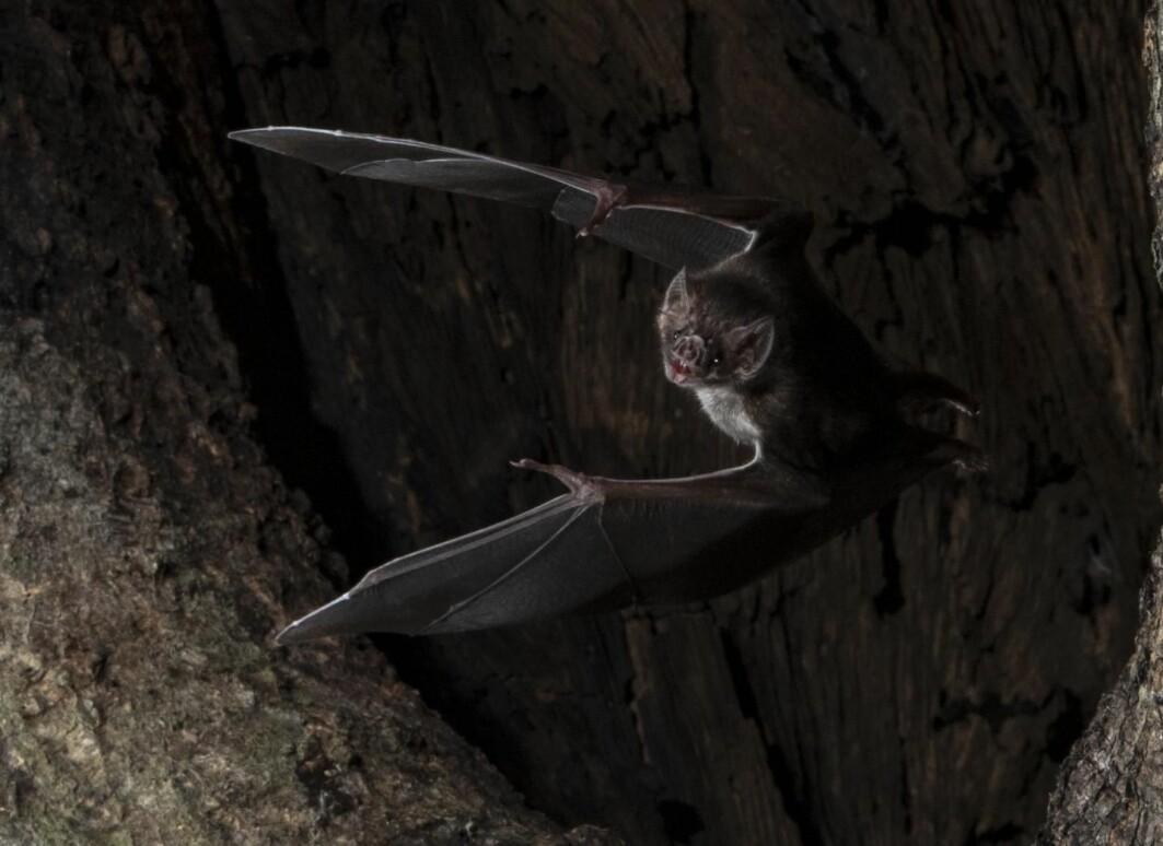 En vampyrflaggermus på vei ut av det hule treet.