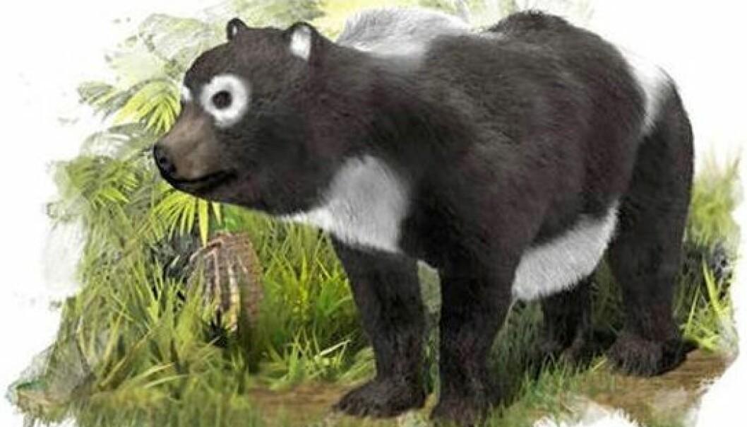 """Kanskje så Kretzoiarctos ut som en motsatt-panda, med omvendte fargeflekker? Forskerne bak fossilfunnet er ikke redde for å spekulere. (Bilde: <a href=""""http://www.agenciasinc.es/imagenes/inicio/(imagen)/96741"""">J.A. Peñas/SINC</a>)"""