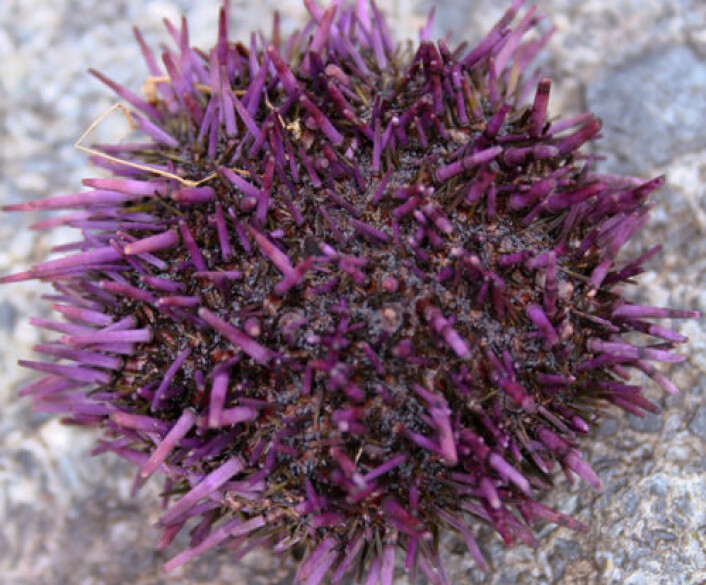 Voksen utgave av purpurkråkebolle. (Foto: iStockphoto)