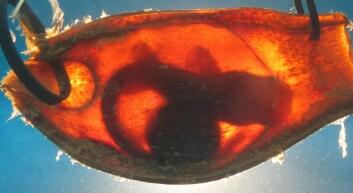 Her ses embryoet inni eggsekken. (Foto: Ryan Kempster, et. al PLOS ONE 8(1), 2013.)