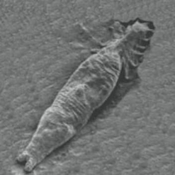 Gyrodactylus salaris. (Foto: The Scottish Government - Gyrodactylus Salaris Working Group)