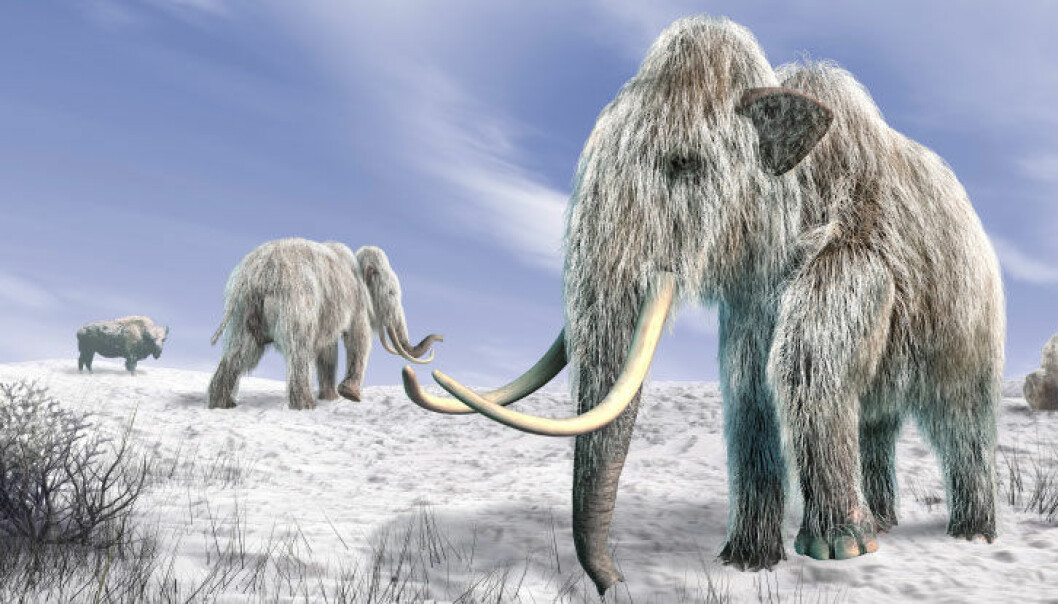Kaldt vær gjorde det vanskelig å finne gress til mat. Det ble starten på slutten for mammuten, mener forskerne. iStockphoto