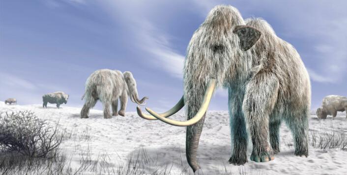 Kaldt vær gjorde det vanskelig å finne gress til mat. Det ble starten på slutten for mammuten, mener forskerne. (Foto: iStockphoto)