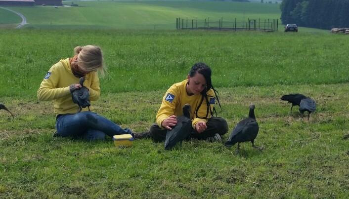 Under hver etappe av den fem dager lange ferden sørover kunne forskerne undersøke fuglene og hente ut data om flygingen deres.