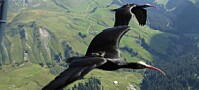 Mennesker har for første gang ledet trekkfugler til et sted de kan være om vinteren