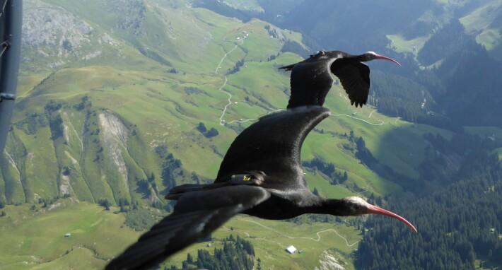 Fuglene på vei over Alpene med GPS-loggere på ryggen.