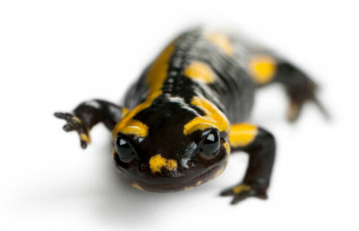Dyrearter som salamanderen har størst problemer med å overleve klimaendringer. Det er fordi de ikke kan bevege seg til områder med kjøligere klima. (Foto: iStockphoto)