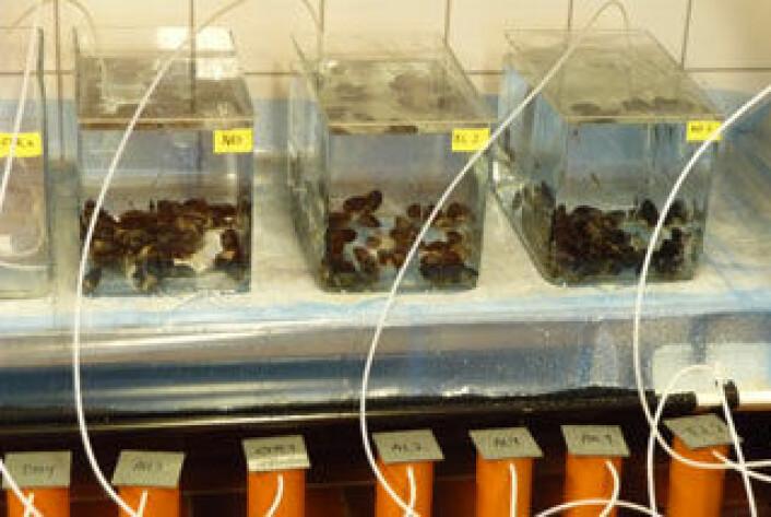 Akvarier med blåskjell og tangkutling der vann med oljeforurenset grus pumpes gjennom kolonnene nederst til akvariene. (Foto: Tor Fredrik Holth, Biologisk Institutt, UiO)