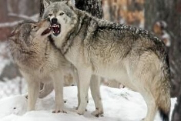 Mennesker fikk ulver til å arbeide for seg. Til gjengjeld fikk ulvene det som var til overs fra menneskenes måltid. (Foto: Colourbox)