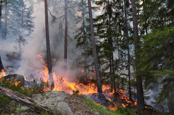 Skogbrann bidrar til å bevare artsmangfoldet i skogen. Flere arter er avhengige av brann for å overleve. (Foto: Ken Olaf Storaunet)