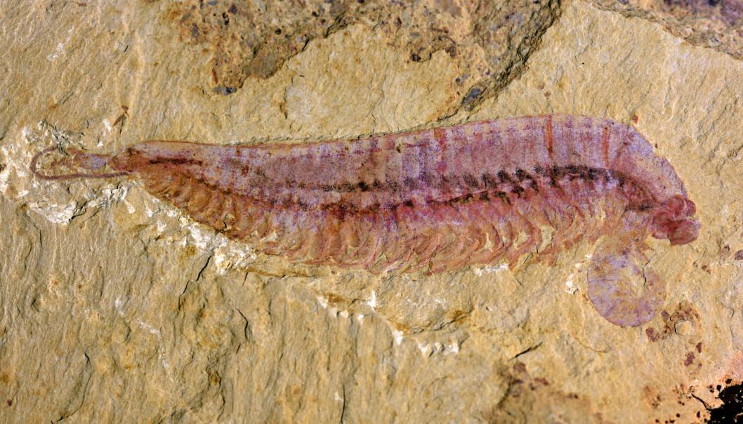 Et svært godt bevart fossil av det nyoppdagede leddyret