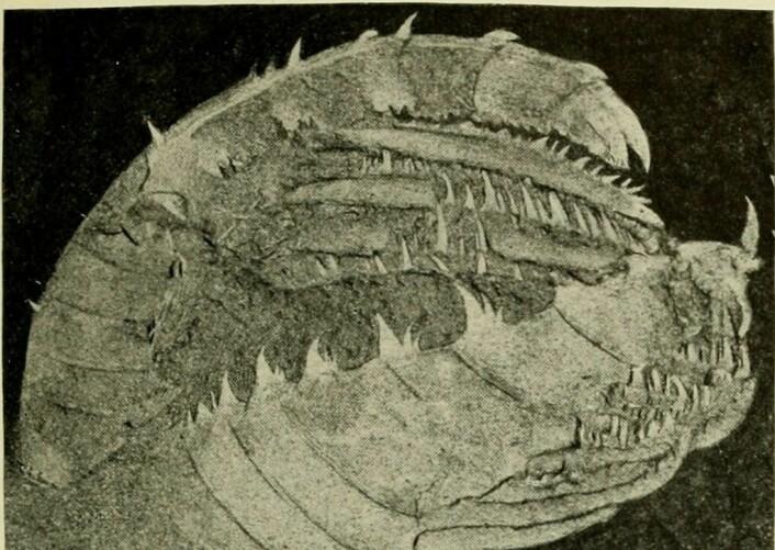 Et fossil som viser de kjevelignende utevekstene til radiodonter.