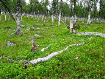 Blåbærbjørkeskog. Fra Svartfjell i Lenvik kommune i Troms. (Foto: Per K. Bjørklund/Skog og landskap)