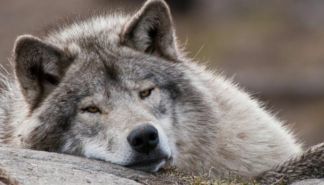 Da ulven ble menneskets beste venn