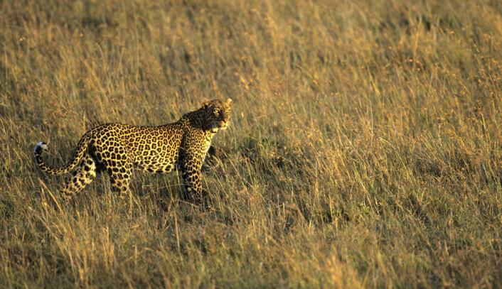 Evnen til å filtrere vekk uvesentlige, store bevegelser og se de små byttedyrene eller det farlige rovdyret, kan ha blitt utviklet på savannen. (Illustrasjonsfoto: www.colourbox.no)