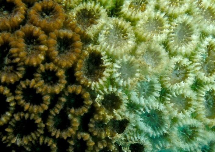 Algene har forsvunnet fra korallen, og etterlater den fargeløs. (foto: Wikimedia/Nick Hobgood)