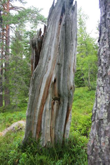Ved å studere merker etter brann i furustubber og trær har forskere nå kartlagt Trillemarkas brannhistorie 800 år tilbake. (Foto: Jørund Rolstad)
