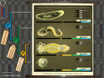 Jo meir parasittisk arten er, jo mindre mikro-RNA klarar den seg med. (Foto: (Ill.: Bastian Fromm, NHM, UiO/Molecular Biology and Evolution))