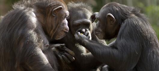 Sjimpanser vil ha noen få bestevenner når de blir gamle
