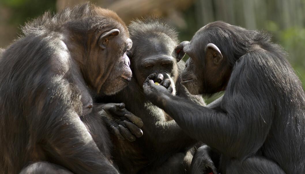 En sjimpanse lever ikke så lenge som et mennesker. De blir vanligvis 40-45 år. Men når de blir gamle, ligner de veldig mye på gamle mennesker.
