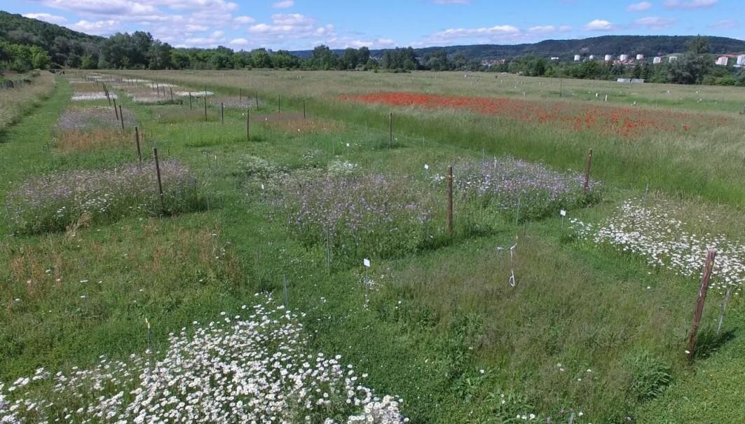 Forskerne fulgte to parallelle eksperimenter i to år, for å finne ut hvordan et mangfold av planter påvirket insektbestandene i gressenger. Her er eksperimentet i Jena i Tyskland.
