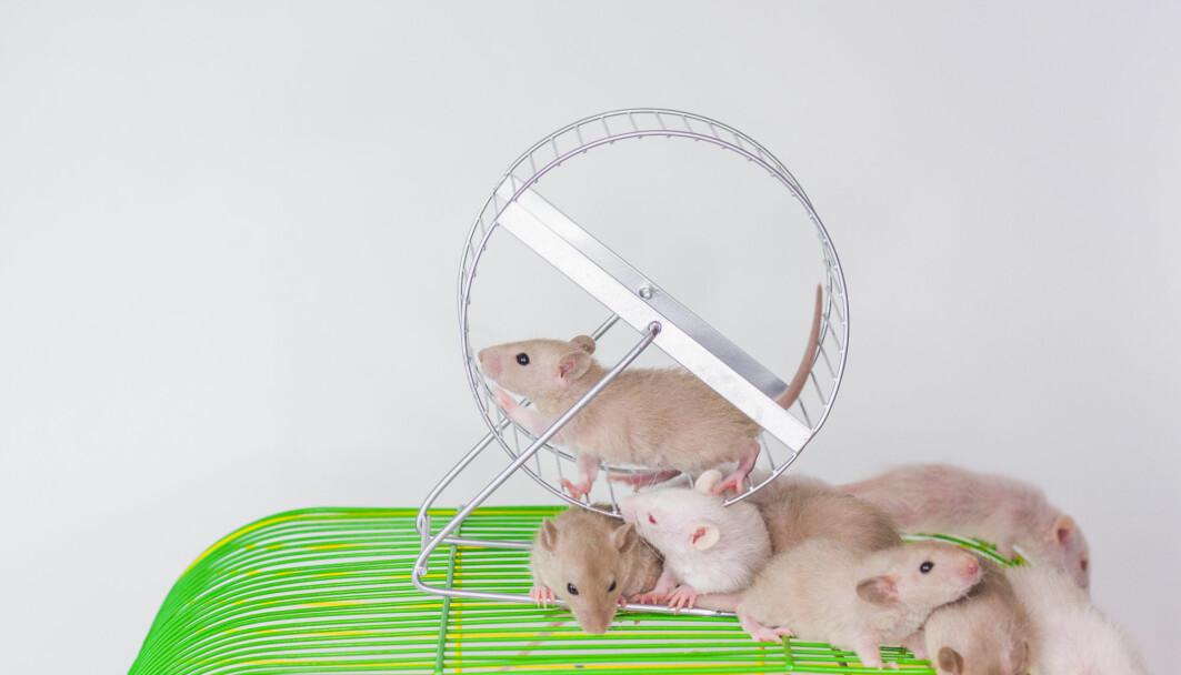 Mus som løper mye i løpehjul får mindre vekst i kreftsvulster enn artsfrender som tar livet med ro. Svenske forskere har funnet en mulig årsak.