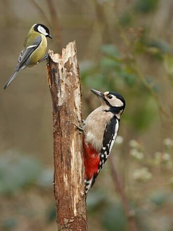 Several bird species depend on the abundance of larvae while their young are small. Here is the great tit with a woodpecker.