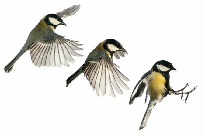 Under conditions where greenhouse gases emissions are high and temperatures rise rapidly, great tits will not always be able to keep up with the changes in the supply of larvae.