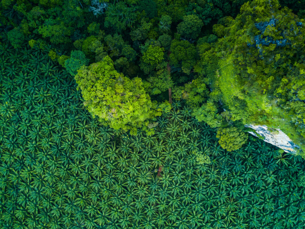 This aerial shot shows the stark difference between a palm grove and the surrounding forest.