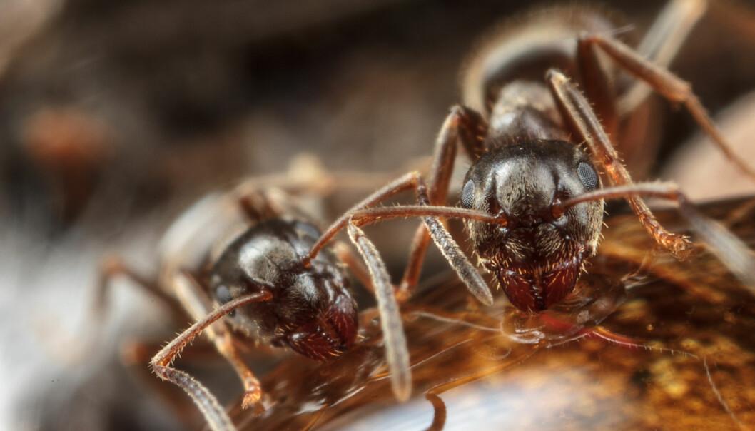Når maur blir smittet med en smittsom sykdom, forandrer de på samfunnet sitt. Akkurat som vi mennesker.