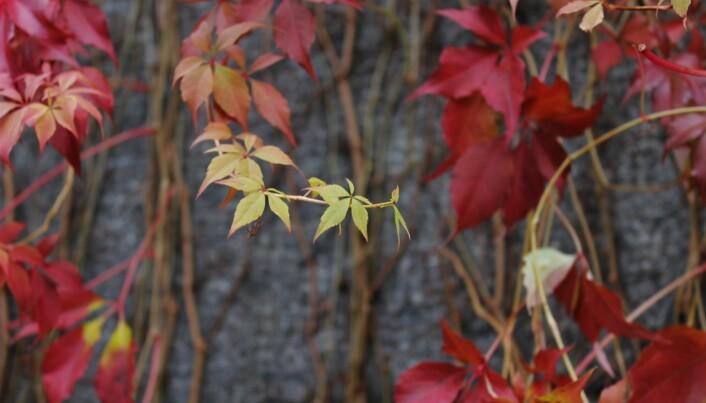 Alderen på bladene kan ha noe å si for hvor fort de får høstfarger, forteller Klaus Høiland. Det er nok også tilfelle på denne villvinen.