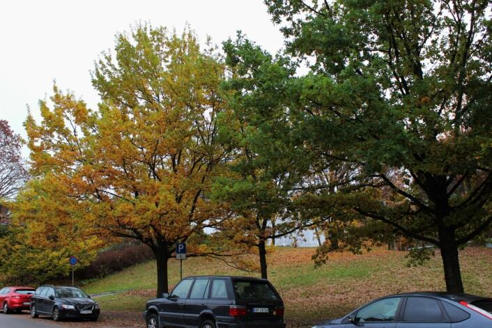 To eiketrær på litt forskjellige steder i fargeutviklingen.