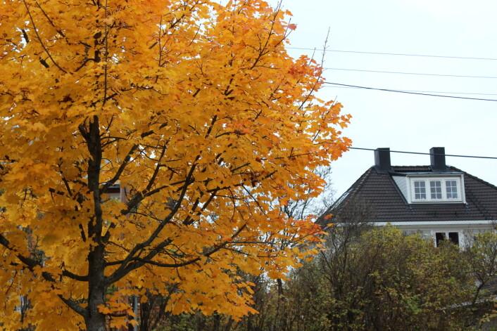 Vokser gullflak på trær likevel? Kanskje ikke - men visste du at de oransje bladene inneholder samme fargestoff som gulrot?
