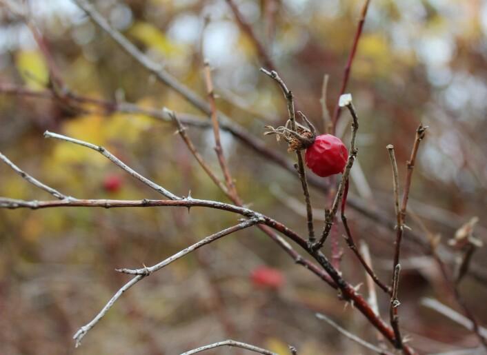 Denne nypen er kanskje gått ut på dato - men lyser fortsatt opp der den henger, takket være de såkalte antocyanene, som sørger for en knall rødfarge.