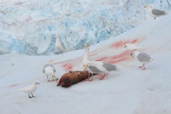 Sjøfugler er blant artene i Arktis som er svært utsatt for miljøgifter. Her fortærer polarmåker og ismåker en død ringsel. (Foto: Geir Wing Gabrielsen, Norsk Polarinstitutt)