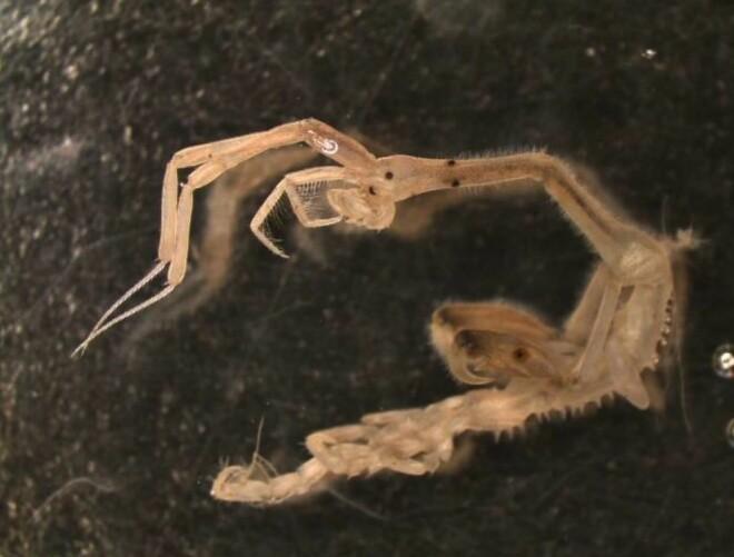 Spøkelseskreps er lange og smale tanglopper som lever blant kystens alger og ser nærmest ut som tråder.