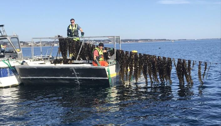 Mye tyder på at vi kan vente oss en kraftig oppskalering av tareindustrien. Forskere er i gang med å undersøke hvordan massiv dyrking kan virke på økosystemet i havet.