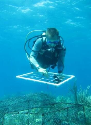 Forskerne bak studien fulgte korallene i forsøket nøye i tre år. (foto: Oregon State University)