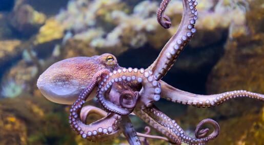 Blekkspruten har ni hjerner - men har alle sin egen bevissthet?