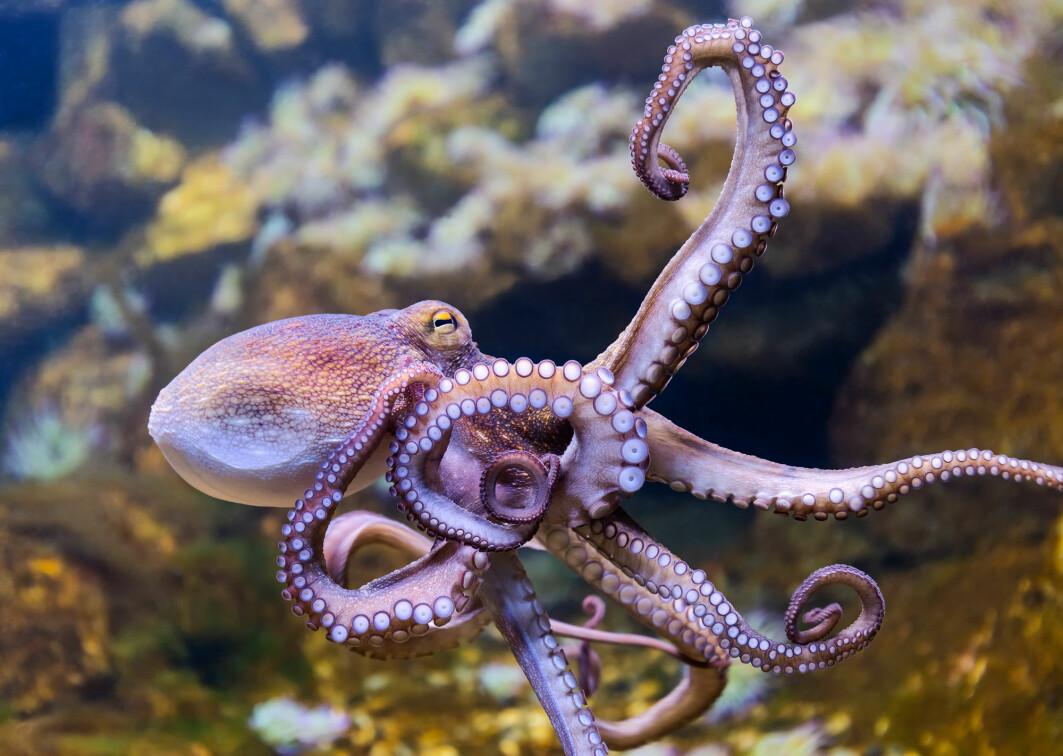 Den ser ut som et slags romvesen, og med sine tre hjerter, åtte armer og ni hjerner kunne den nesten vært akkurat det. Men hvor annerledes er blekkspruten egentlig fra dyr med bare én hjerne?