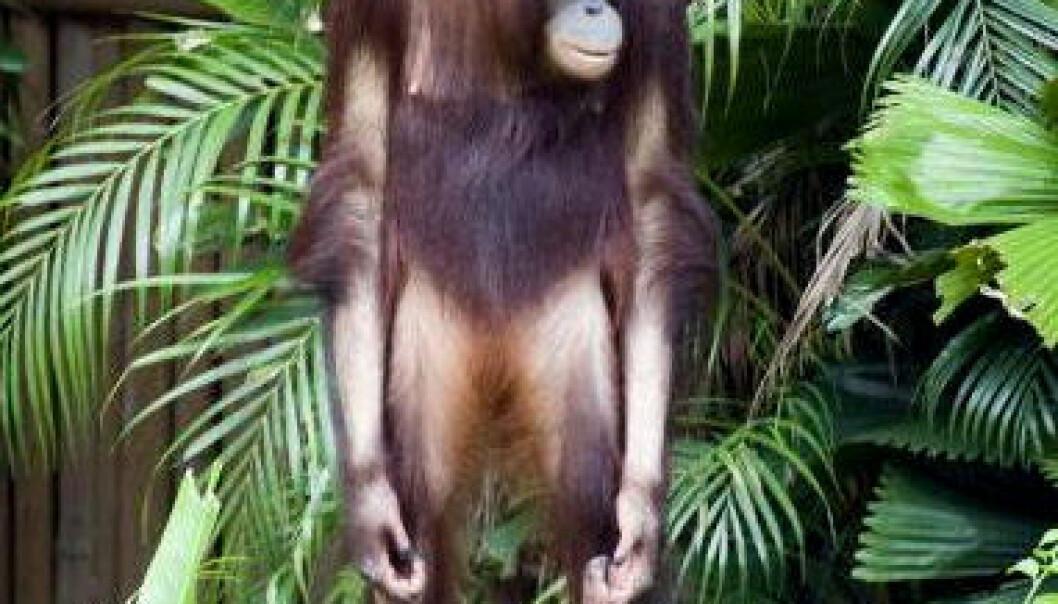 Forfedrene våre lærte å gå på to bein fordi de skulle bruke hendene til å samle inn verdifulle matvarer. Orangutangen, sjimpansen og gorillaen kan kaste lys over hvordan forfedrene våre utviklet seg til mennesker. Colourbox