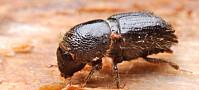Tørke gir ikke nødvendigvis ny barkbilleboom
