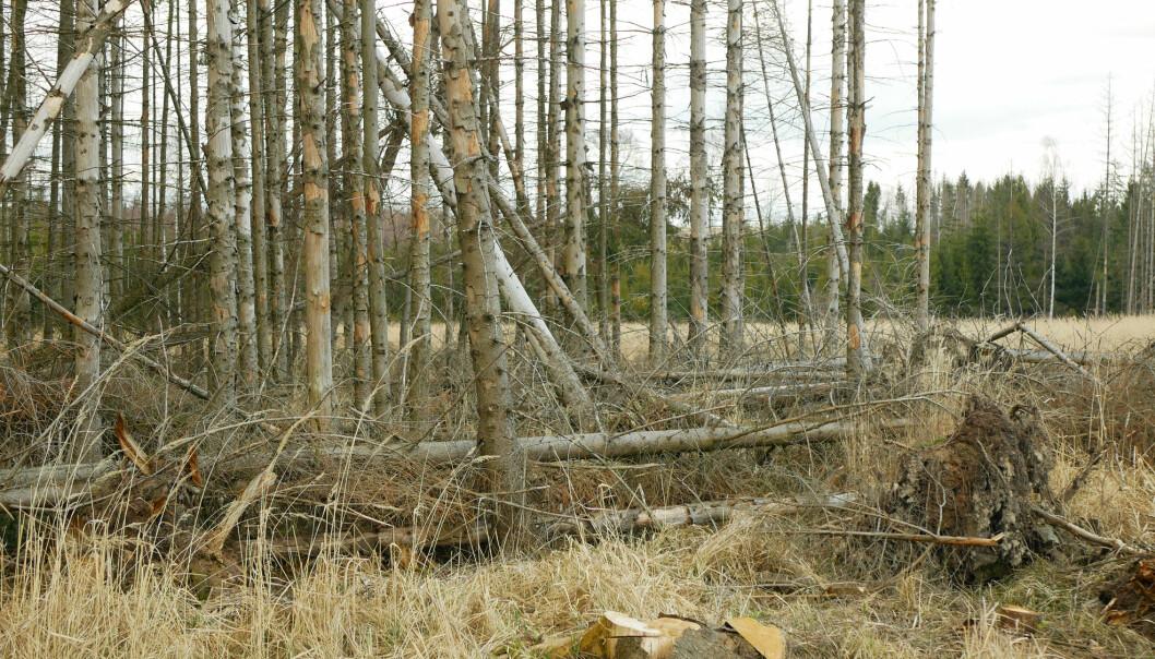 På de fleste stedene der stor granbarkbille angrep skog i 2020, var trærne trolig allerede drept eller sterkt svekket av tørke.