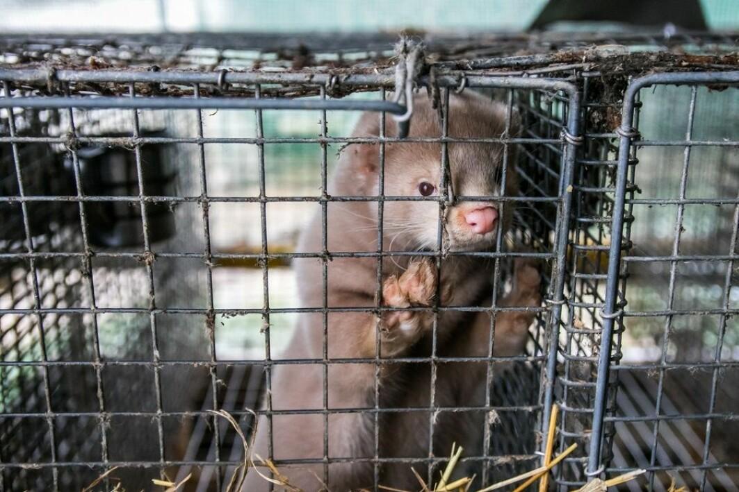 Svært få forskere har hatt muligheter for å vurdere grunnlaget for beslutningen om at alle danske mink skal avlives.