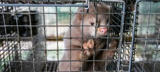 Avlivning av dansk mink: Forsiktighet eller overreaksjon?
